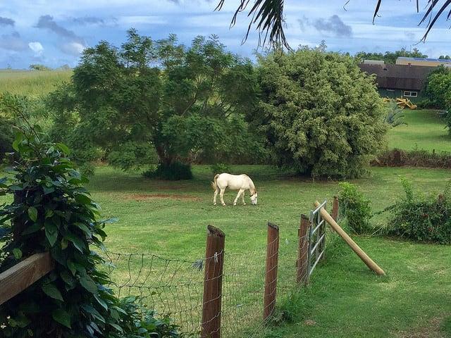 white horse grazing, makawao maui