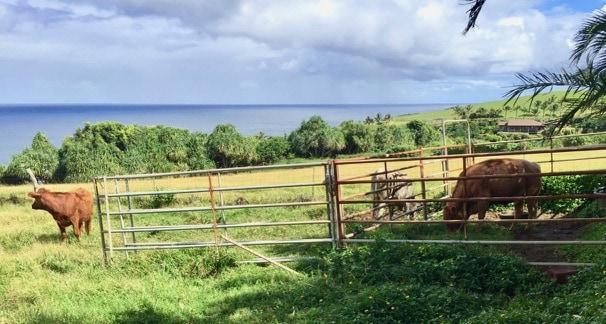 maui cattle scene oceanfront