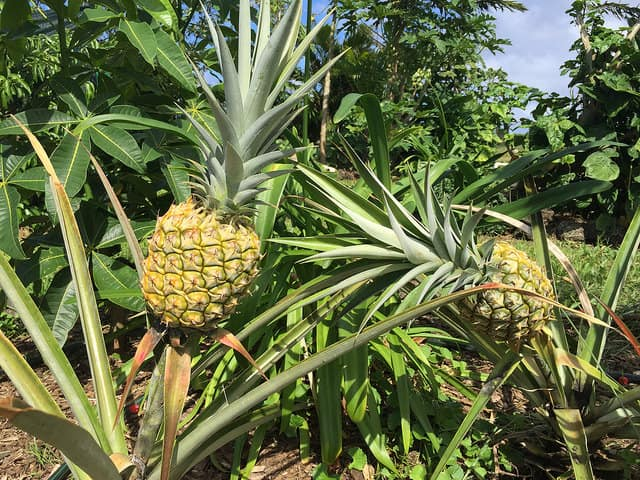 pineapples in Haiku Maui
