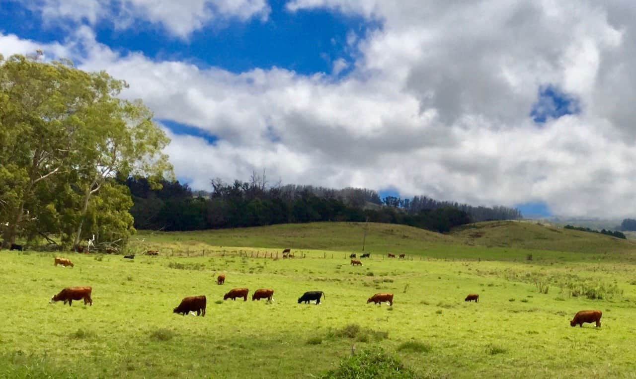 upcountry pastures in Kula Maui