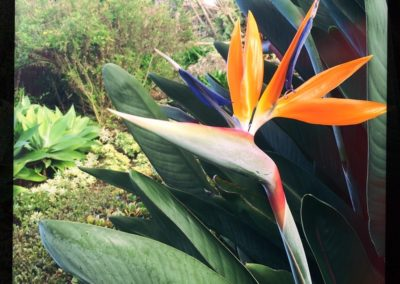 bird of paradise upper kimo