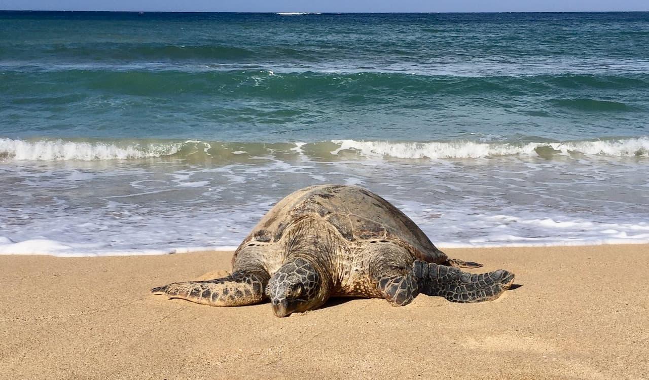 single sea turtle on the sand