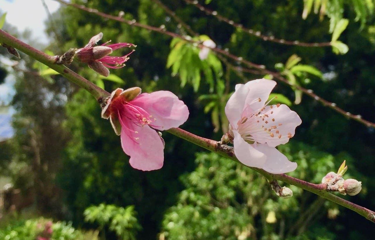 peach blossoms Kula Maui