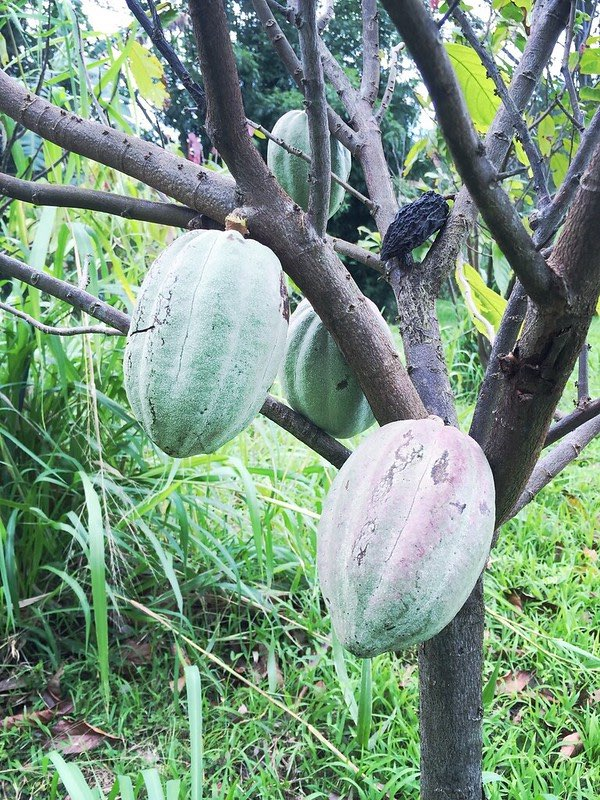 cacao pods growing on Maui