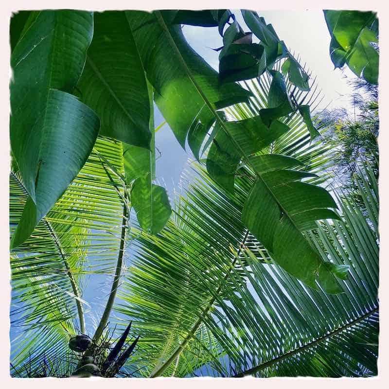 green canopy Maui