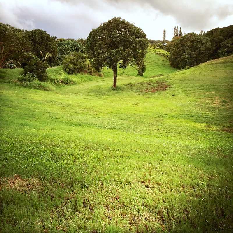 tree in the valley - Hanauana Rd