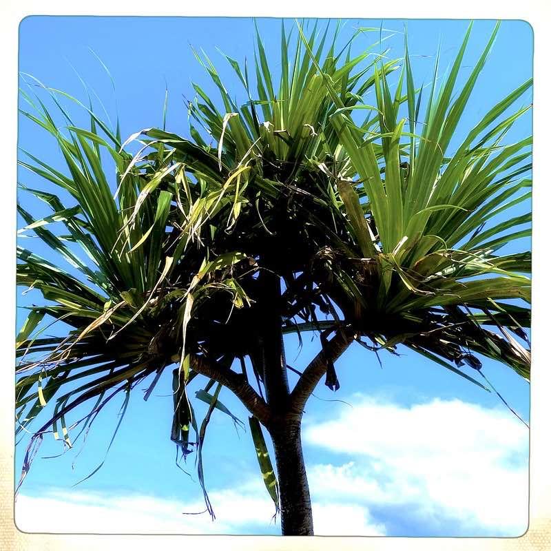 hala tree and sky